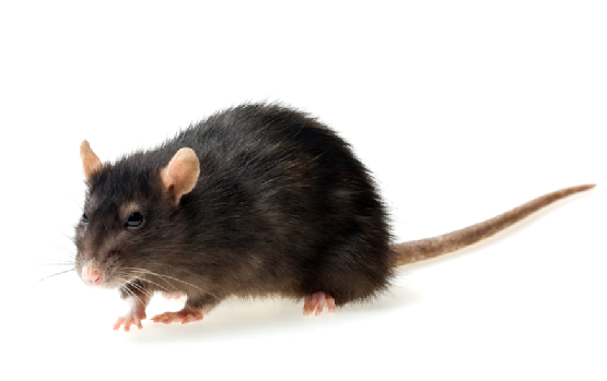 Rat Removal Wandsworth SW18