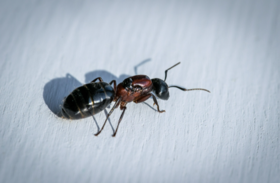 Best Home methods to Control Ants