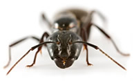 Pest Control for Garden Ants