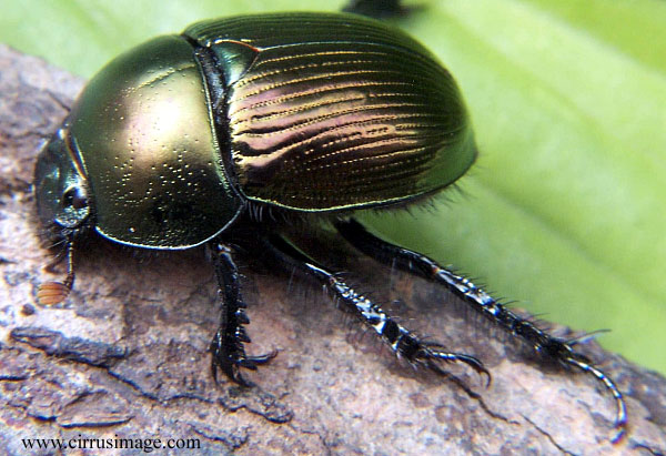 Dung Beetle Empire Pest Control London