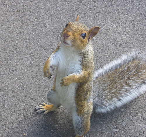 Don't be Fooled by the Cute Grey Squirrel