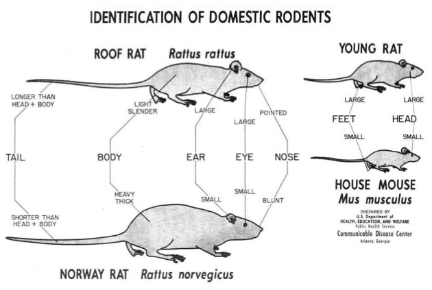 Difference Between Mice And Rats
