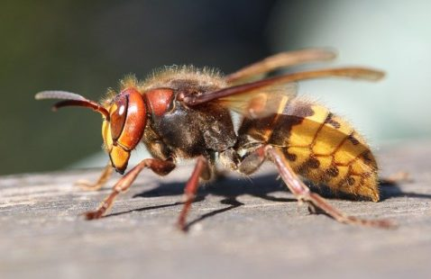 Differences Between Hornets and Wasps