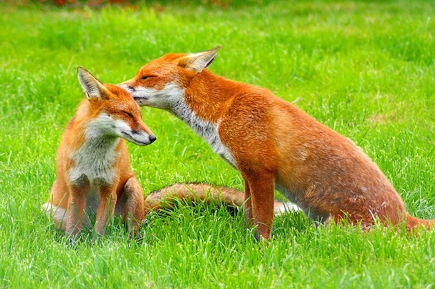 Do Foxes Eat or Attack Cats?