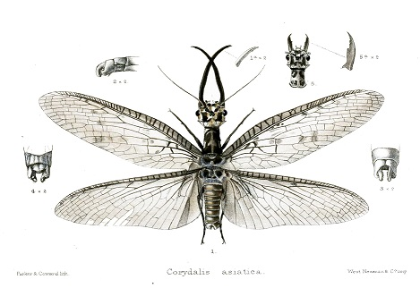 The world's largest aquatic insect discovered in China