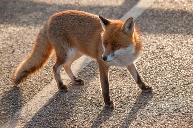 london fox on street