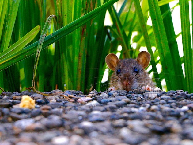 Signs Of Rats In Garden Environments