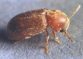 Biscuit Beetle Empire Pest Control London