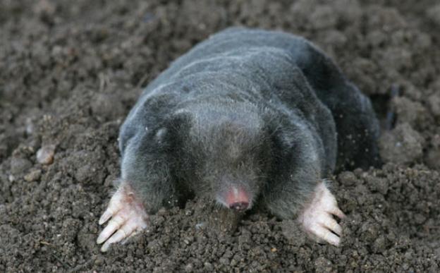 Common Mole