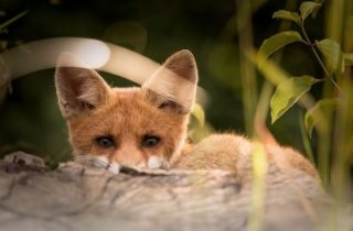 what do foxes not like