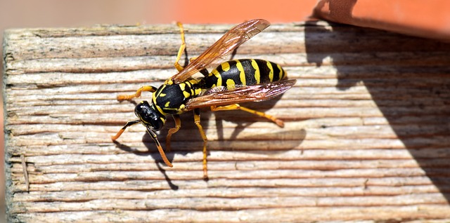 do wasps hibernate